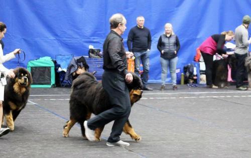 GangriNorbu Om Arya, Rahvuslik koertenäitus Narva Winter Cup 2019, Kohtunik: Torsten Lemmer (Bulgaaria), Juunior klass, Ex.  II koht, JunCAC